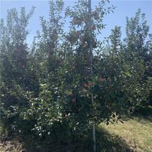 3公分苹果苗出售基地、3公分苹果苗价格及报价图片