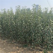 矮化砧苹果树苗、矮化砧苹果树苗新品种图片