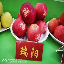 瑞香红苹果树苗价格、瑞香红苹果树苗基地图片