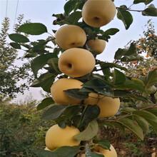 弘前富士苹果树苗价格、弘前富士苹果树苗基地及报价图片
