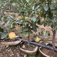 华玉苹果树苗、华玉苹果树苗批发价格图片