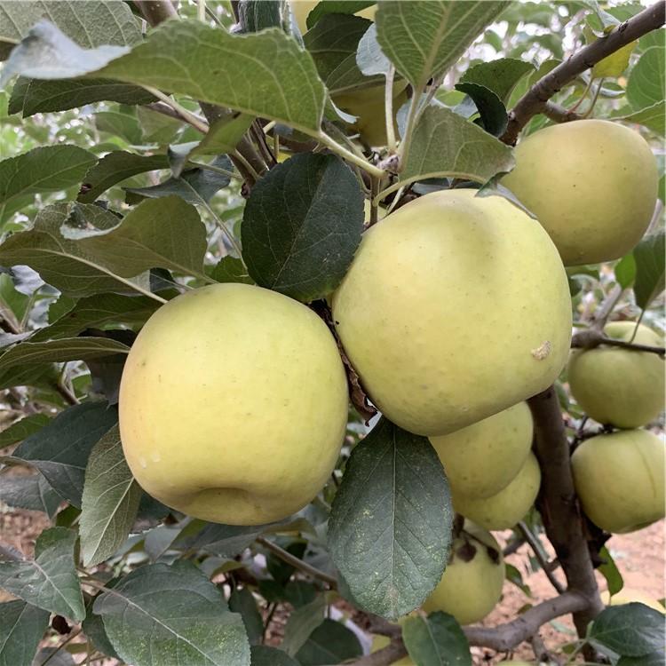 矮化砧苹果苗、矮化砧苹果苗价位
