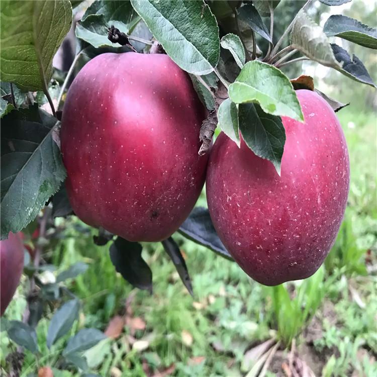 黑钻苹果树苗出售、黑钻苹果树苗基地
