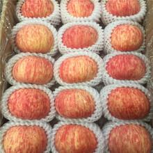 矮化M26苹果苗出售、矮化M26苹果苗价格图片