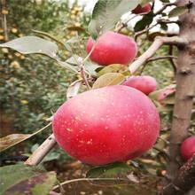 批发鲁丽苹果树苗、批发鲁丽苹果树苗基地图片