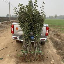 新品种苹果树苗出售、新品种苹果树苗价格图片