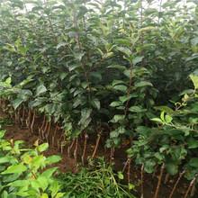 自根砧苹果树苗出售、自根砧苹果树苗基地图片