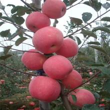 山东3公分苹果树苗价格、山东3公分苹果树苗基地图片