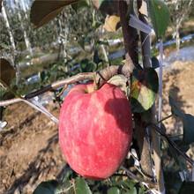 红将军苹果苗、红将军苹果苗价位图片