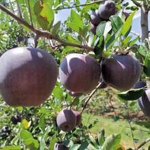 山东黑钻苹果树苗、黑钻苹果树苗基地图片