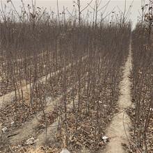 矮化m9t337蘋果樹苗、矮化m9t337蘋果樹苗新品種圖片