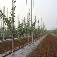 矮化苹果树苗、矮化苹果树苗报价及价格图片