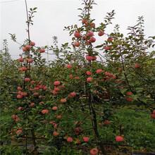 山东瑞香红苹果树苗、瑞香红苹果树苗价格图片