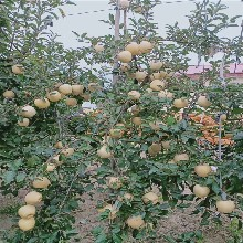 國光蘋果樹苗批發價格、國光蘋果樹苗基地及報價圖片