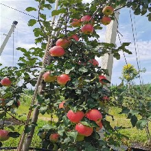 富士苹果树苗、富士苹果树苗价位图片