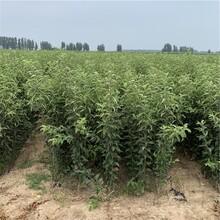 短枝红富士苹果树苗出售、短枝红富士苹果树苗价格图片