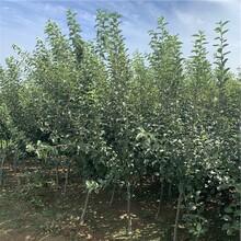 烟富3号苹果树苗价格、烟富3号苹果树苗批发图片