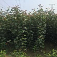 矮化砧苹果苗、矮化砧苹果苗价位图片