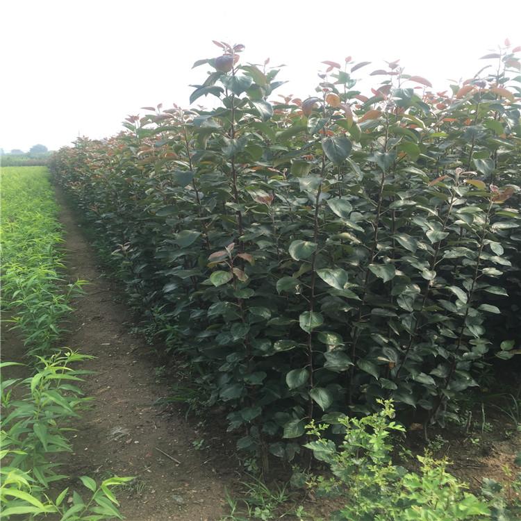 美八蘋果樹苗新品種、美八蘋果樹苗價格及基地