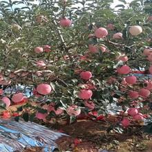 山东苹果树苗出售、山东苹果树苗价格及报价图片