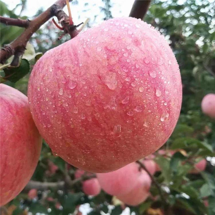神富6号苹果树苗报价、神富6号苹果树苗价格及基地