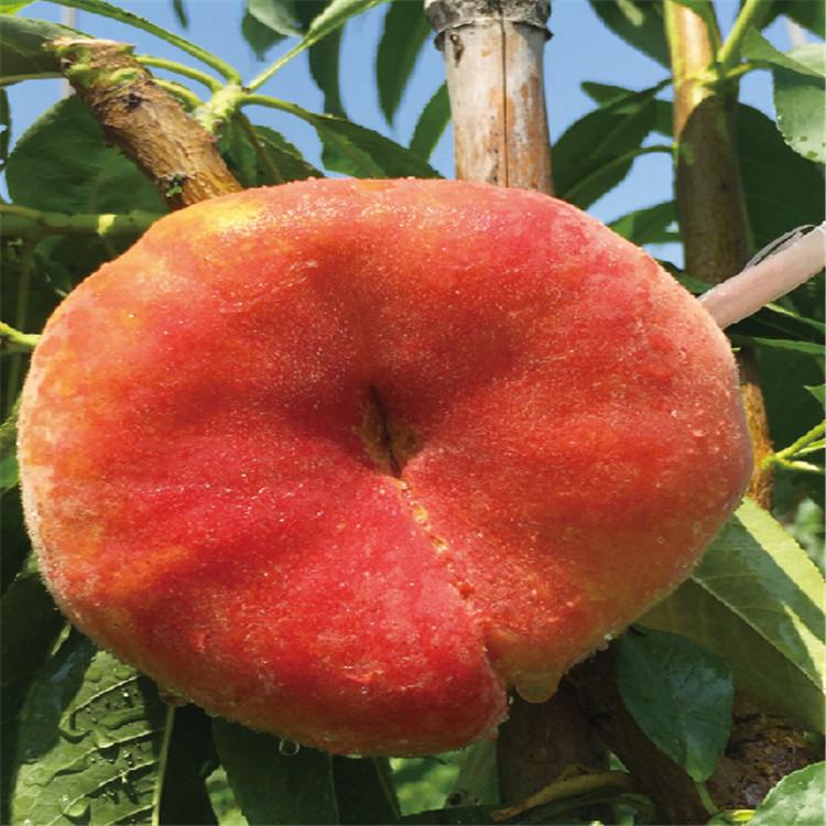 金冠8-18桃树苗、金冠8-18桃树苗价位