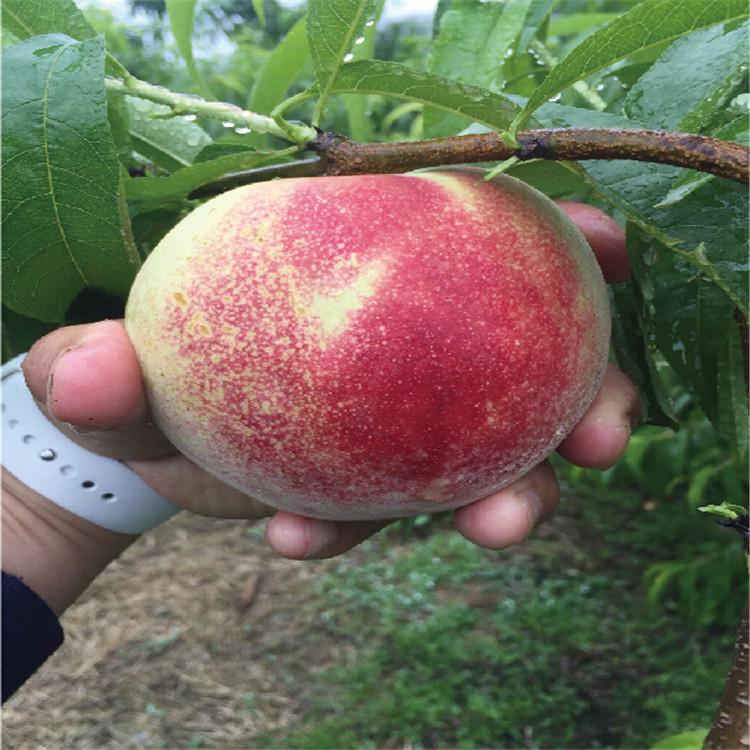 早春红桃苗报价、早春红桃苗价格