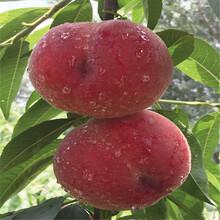 黄金桃树苗新品种、黄金桃树苗价格及基地图片