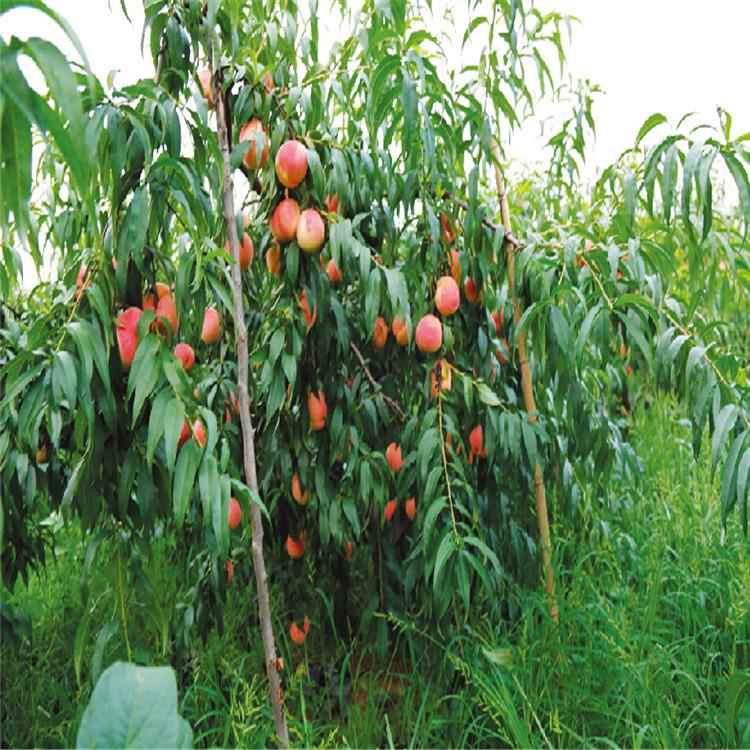 中桃樹苗批發、中桃樹苗價格及基地
