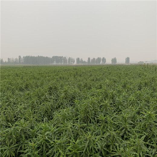 晚熟桃树苗新品种、晚熟桃树苗价格及基地