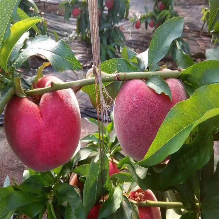 批发超早红蜜桃苗、批发超早红蜜桃苗价格及基地