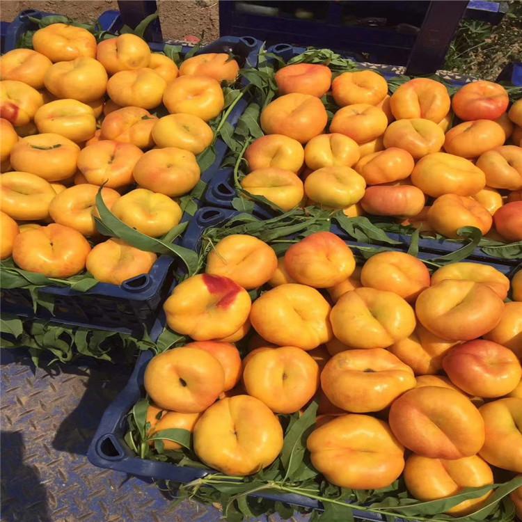 36-5油蟠桃树苗出售、36-5油蟠桃树苗基地