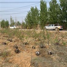 出售春红桃树苗、春红桃树苗价格图片