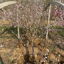 新品种冬雪红蜜桃树苗价格、新品种冬雪红蜜桃树苗基地图片