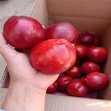 中秋红蜜桃苗价格、山东中秋红蜜桃苗图片