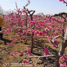 新品种沙红桃树苗价格、新品种沙红桃树苗基地图片