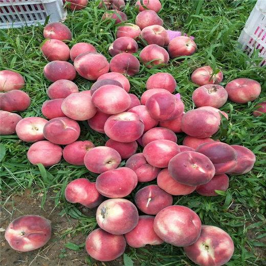 红甘露桃树苗出售、红甘露桃树苗价格