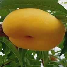水蜜桃桃树苗出售、水蜜桃桃树苗价格及基地图片