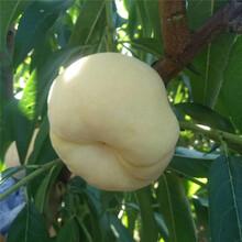 秋丽桃苗、秋丽桃苗品种图片