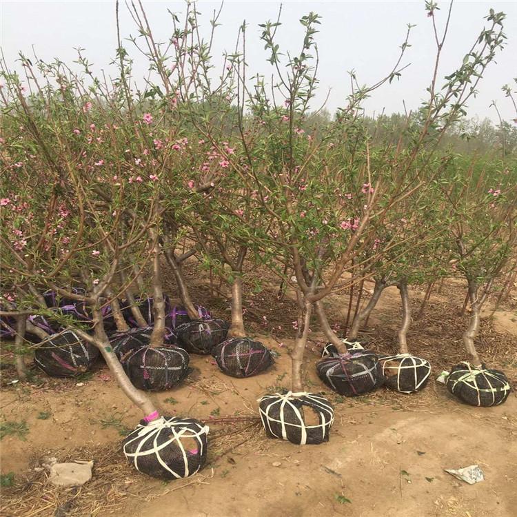 极早美脆桃树苗、极早美脆桃树苗批发基地