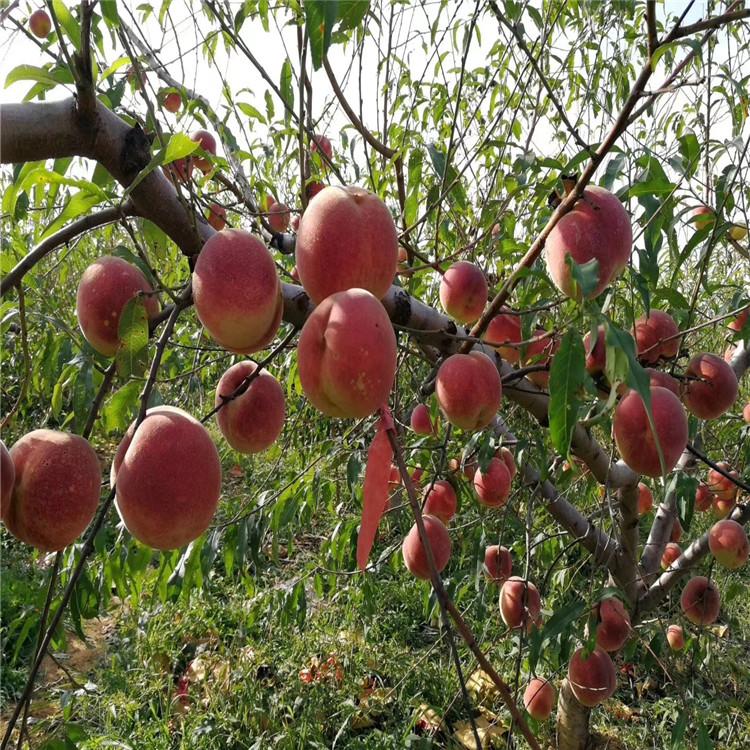 永莲蜜桃5号桃树苗、永莲蜜桃5号桃树苗价格
