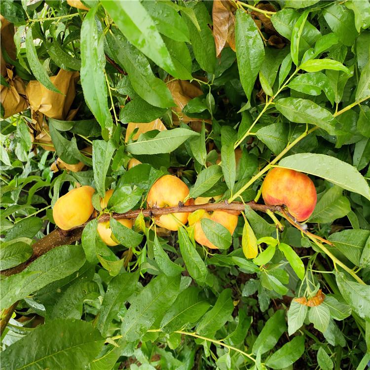 新黄金蜜一号桃树苗价格、新黄金蜜一号桃树苗报价及基地