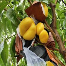 出售4公分桃树苗、出售4公分桃树苗价格及报价图片