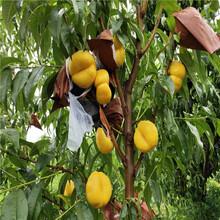 二老板桃树苗基地、二老板桃树苗价格及报价图片