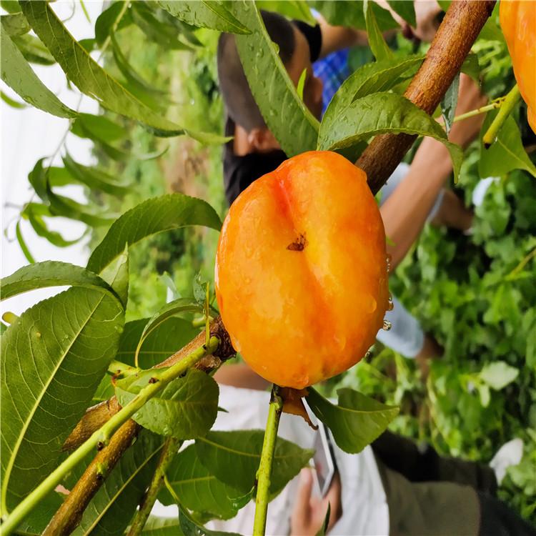 油蟠7-5桃树苗出售、油蟠7-5桃树苗价格及报价