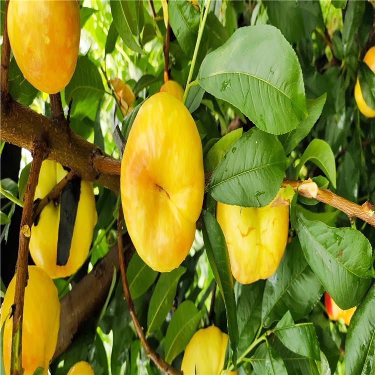 水蜜桃桃树苗出售、水蜜桃桃树苗价格及基地