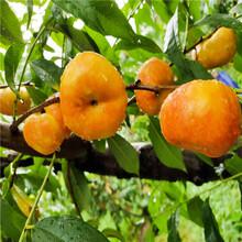 中国沙红桃树苗、中国沙红桃树苗价钱图片