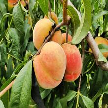 秋红桃苗出售、秋红桃苗价格及报价图片