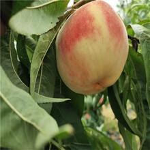 出售永莲蜜桃12号桃树苗、出售永莲蜜桃12号桃树苗价格图片