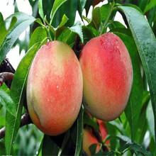 凤凰联盟登录油20号油桃树苗、凤凰联盟登录油20号油桃树苗价格图片